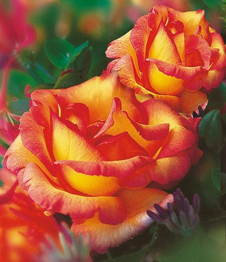 "Delbard Kletter-Rose ""Parure d'or®"",1 Pflanze"