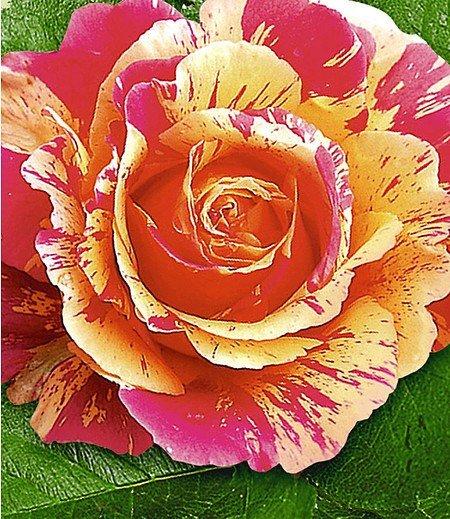 "Delbard Maler-Rose® ""Claude Monet®"",1 Pflanze"