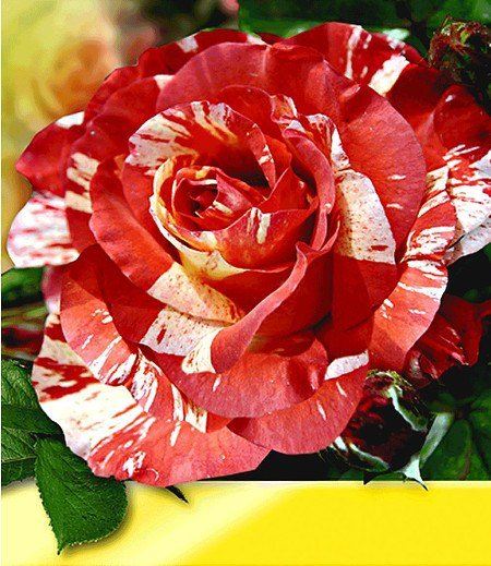 "Delbard Maler-Rose® ""Paul Gauguin®"",1 Pflanze"