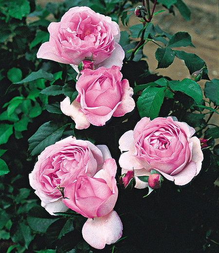 "Delbard Rose der Liebe ""Souvenir de Louis Amade®"",1 Pflanze"