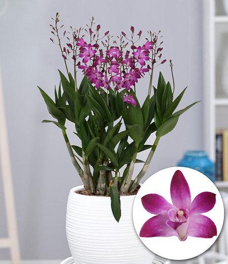 """Dendrobium """"Berry Oda"""",1 Pflanze"""