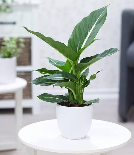 "Dieffenbachie ""Green Magic"",1Pflanze"