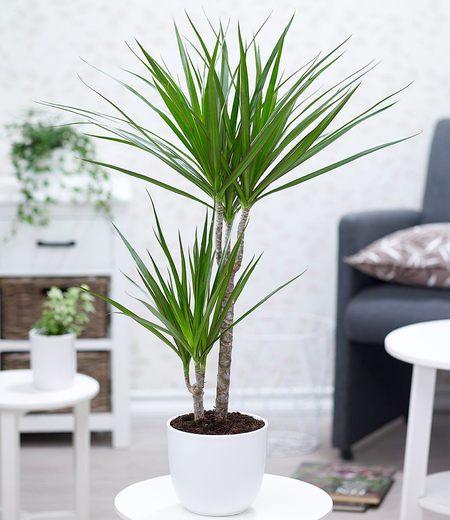 "Dracaena ""Marginata"" ca. 70 cm hoch,1 Pflanze"