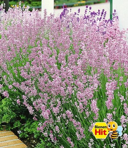 "Duft-Lavendel ""Rosa"", 3 Pflanzen"