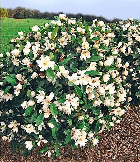 "Duft-Magnolien-Hecke ""Fairy"",1 Pflanze"