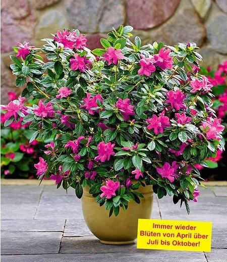 """Durchblühende Azalee """"Bloom Champion"""" purple, 1 Pflanze"""