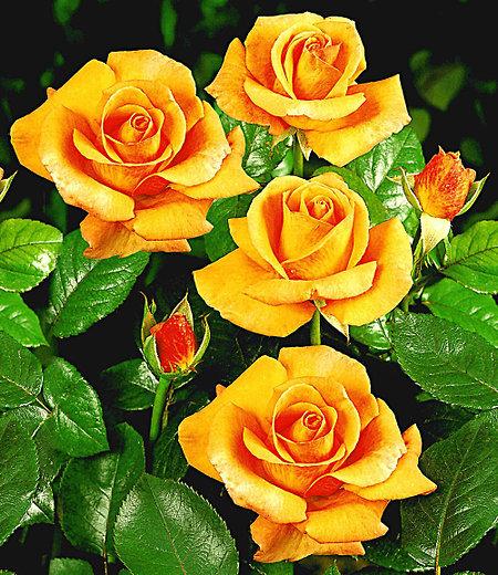 """Edelrose """"Maja Oetker®"""",1 Pflanze"""