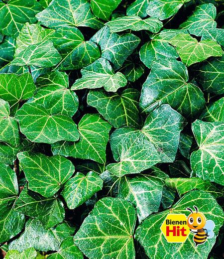 "Efeu ""Baltica"",3 Pflanzen"