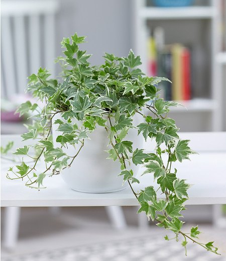 "Efeu ""White Ripple"",1 Pflanze"