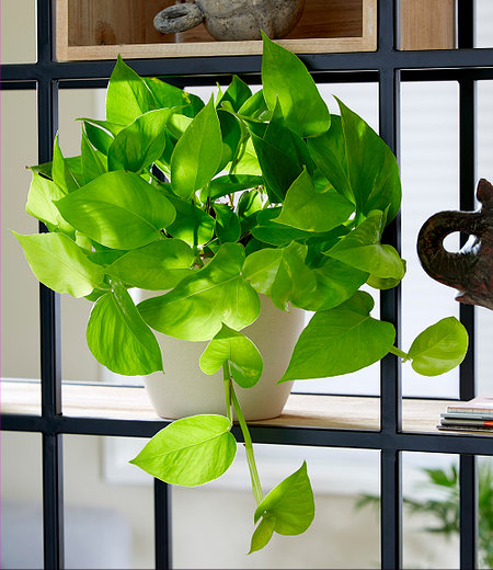 "Efeutute ""Golden Pothos"",1 Pflanze"