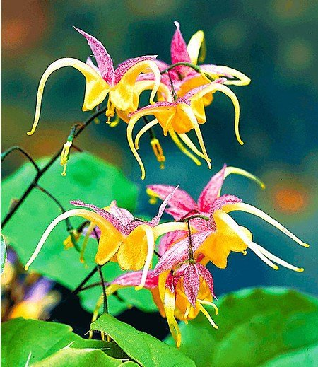 "Epimedium ""Fire Dragon®"",2 Pflanzen"