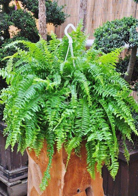 Farn (Schwertfarn) Green Lady - Nephrolepsis exaltata