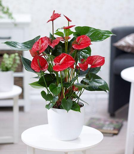 "Flamingoblume ""Rot"",1 Pflanze"