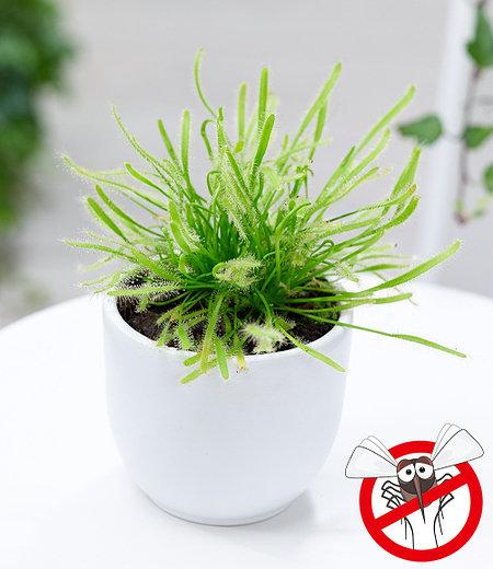 """Fleischfressende Pflanze """"Sonnentau"""",1 Pflanze"""