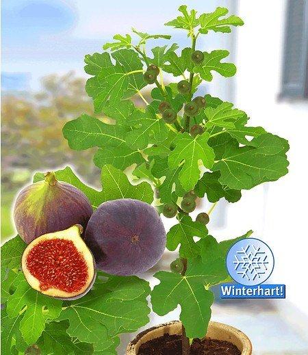 """Frucht-Feige """"Rouge de Bordeaux"""" groß,1 Pflanze Ficus carica"""