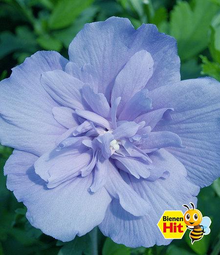 """Gefüllter Hibiskus """"Chiffon®"""" blau,1 Pflanzen"""