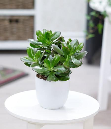 Geldbaum Crassula,1 Pflanze