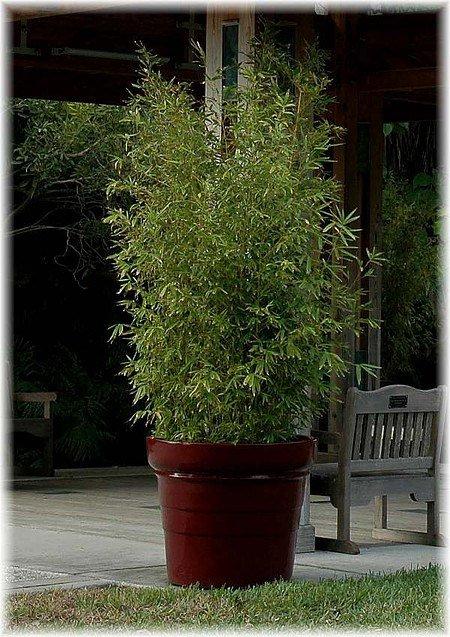 Gold-Bambus Phyllostachys aurea