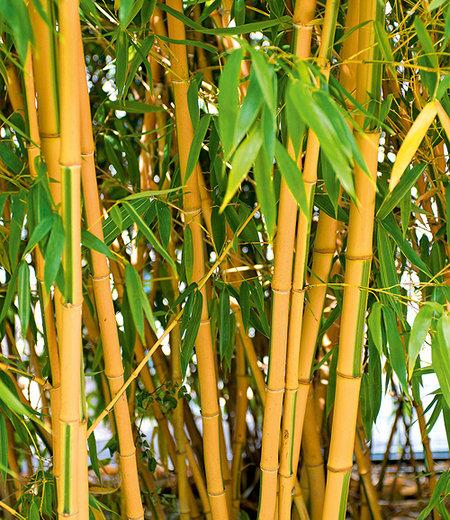 Goldener Peking Bambus,1 Pflanze