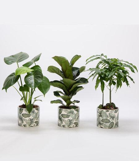 Grünpflanzen 3er-Set inkl. Amazonas Keramik-Übertopf,3er-Set