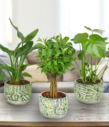 Grünpflanzen 3er-Set inkl. Fossil Keramik-Übertopf,3er-Set