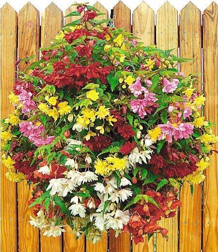 """Hänge-Begonien-Mix """"Illumination"""",4 Pflanzen Begonia Mischung"""