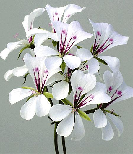 """Hänge-Geranien """"White Glacier®"""",3 Pflanzen Pelargonium peltatum weiß"""