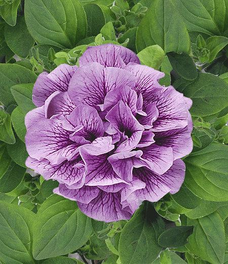 "Hänge-Petunien ""Viva®"" doppelt-violett,3 Pflanzen Petunia"