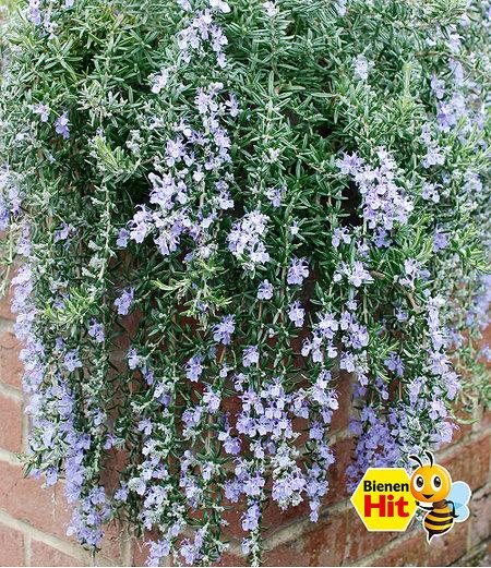 Hänge-Rosmarin 'Blue Cascade®',1 Pflanze