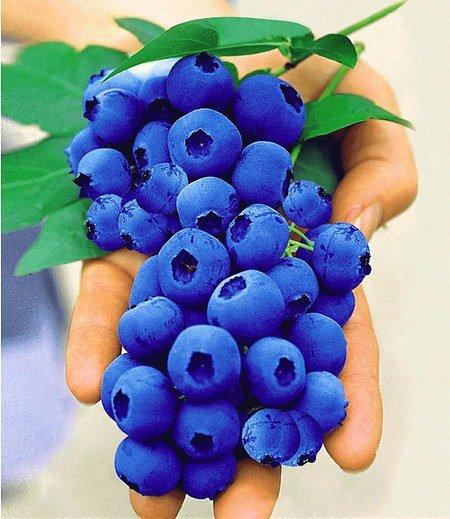 "Heidelbeere ""Nui®"",1 Pflanze"