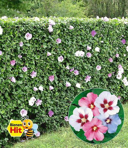 Hibiskus-Hecke,10 Pflanzen