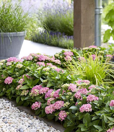 Hortensien-Hecke Forever & Ever® Hortbux®,2 Pflanzen