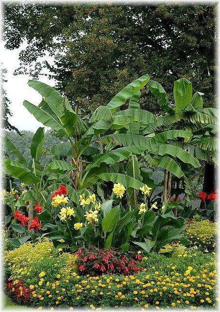 Japanische Faser Banane Musa basjoo