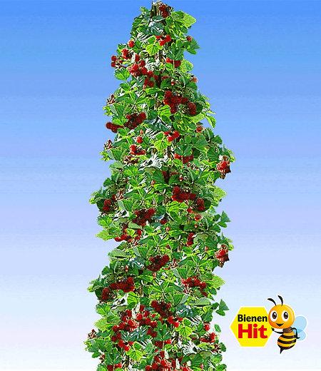 Japanische Säulen-Himbeere,1 Pflanze