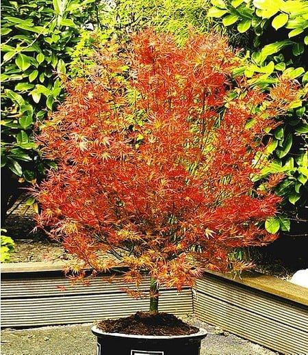 "Japanischer Ahorn ""Katsura"",1 Pflanze"