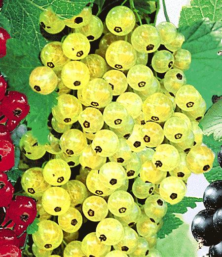 """Johannisbeere """"Goldgelbe Versailler"""",1 Pflanze"""