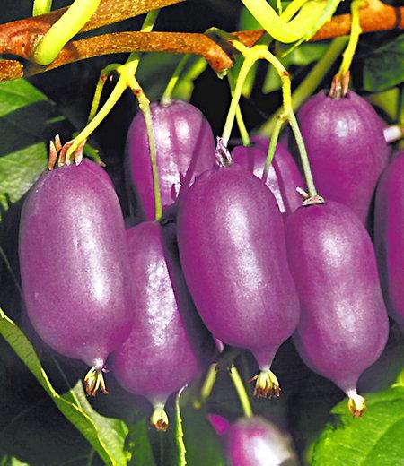 "Kiwi ""Ken's Red®"" (inkl. Befruchter),2 Pflanzen"
