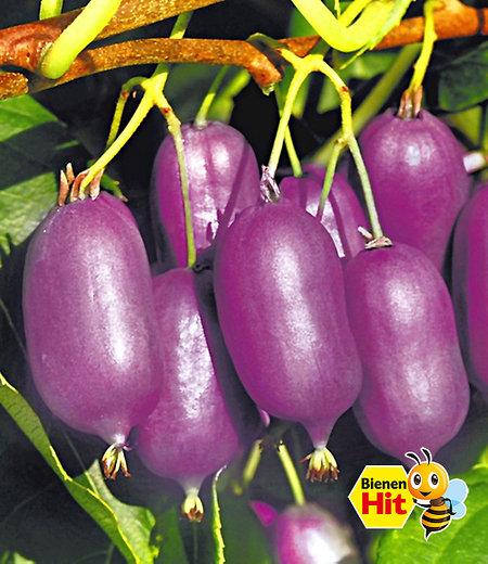 """Kiwi """"Ken´s Red®"""",1 Pflanze"""