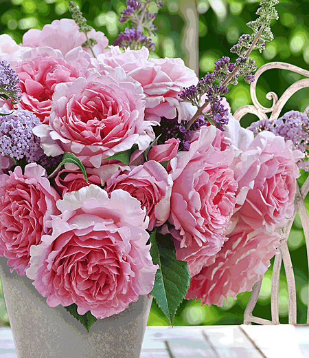 "Kletter-Rose ""Bienvenue®"",1 Pflanze"