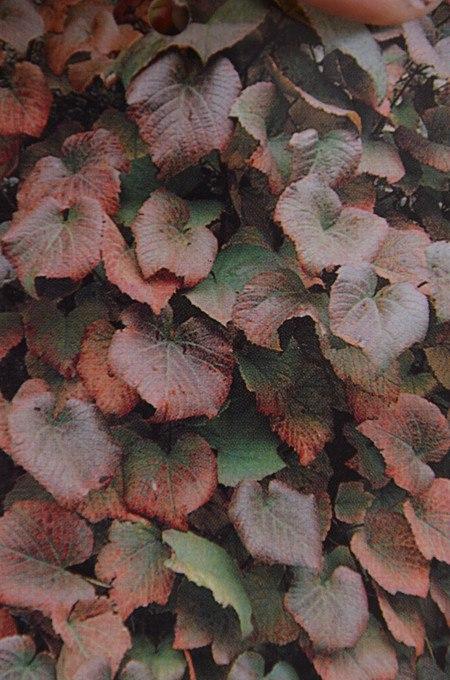Kletterpflanze Amurrebe