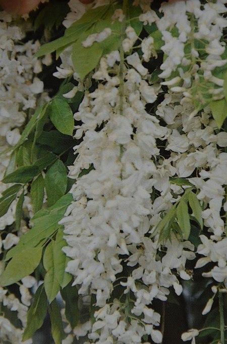 Kletterpflanze ChinesischerBlauregen 'Alba'