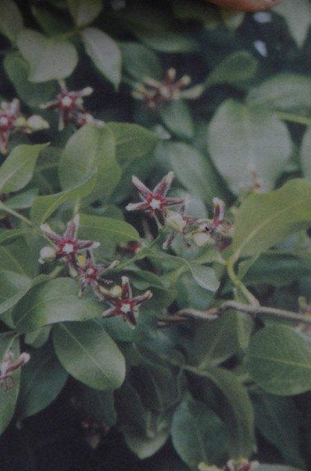 Kletterpflanze GriechischeBaumschlinge