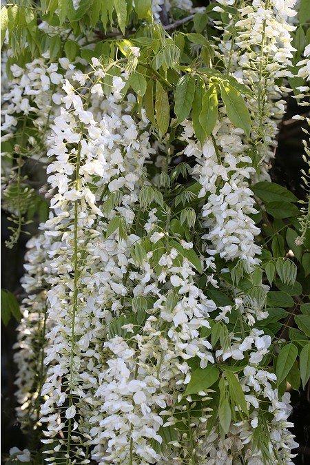 Kletterpflanze JapanischerBlauregen 'Alba'