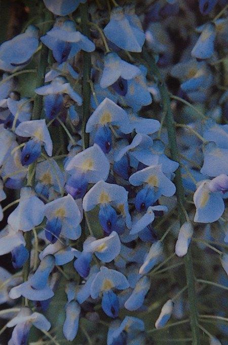 Kletterpflanze JapanischerBlauregen 'Blue Dream'
