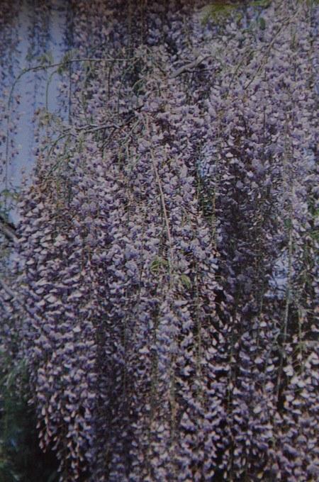 Kletterpflanze JapanischerBlauregen 'Macrobotrys'