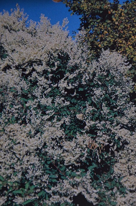 Kletterpflanze Knöterich