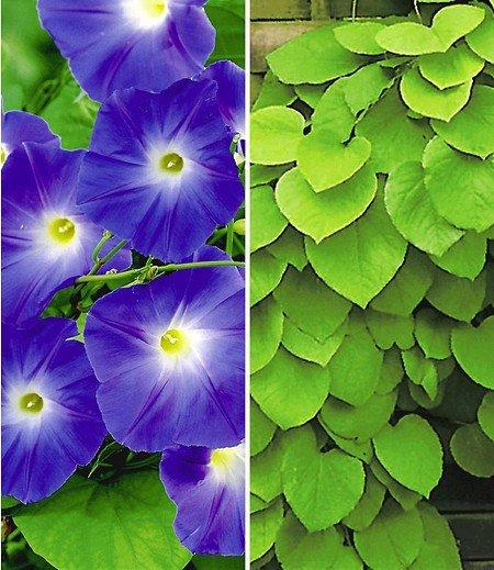 Kletterpflanzen-Kollektion,2 Pflanzen