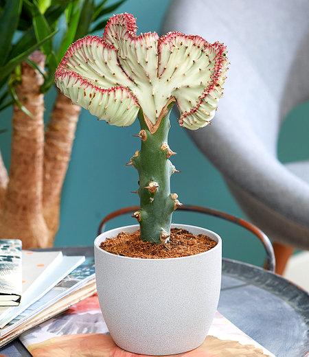 """Korallenwolfsmilch """"Cristata"""",1 Pflanze"""