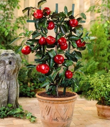 "Kübel-Apfel ""Tasty & Beauty"",1Pflanze"