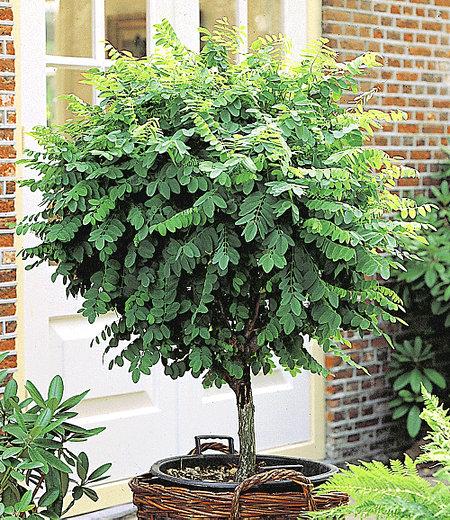 Kugel-Akazie,1 Pflanze